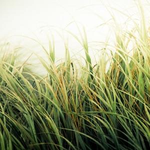 beach grass/cuba gallary/flickr