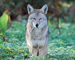 The coyote pup_alt.