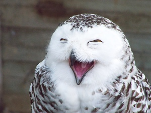 Laughing Owl by Kollor93/flickr_alt_Including Humor in Your Writing