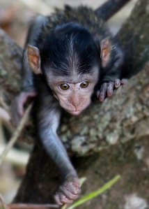Baby Monkey Tagging_alt._doug88888_flickr