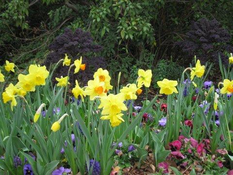 Johanna Ash's Daffodil Photo