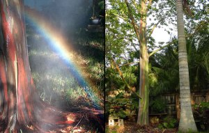 Eucalyptus deglupta is a Mindanoa Rainbow Gum tree