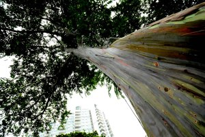 Rainbow Eucalyptus at Katong Park in Hawaii.