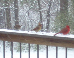 Out my window. Cardinals on a rail.