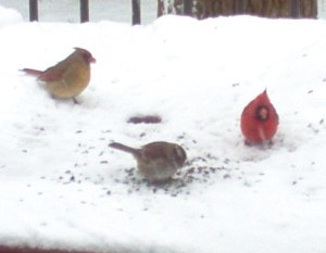 Out my window. Cardinals  pecking seeds on deck table.
