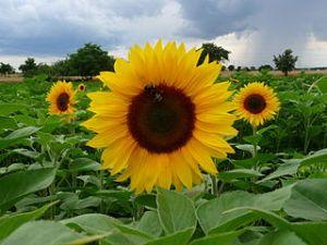 Drei_Sonnenblumen_im_feld.