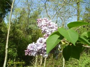 ViviLnk My son's lilacs in my yard