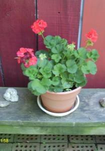 My Geranium